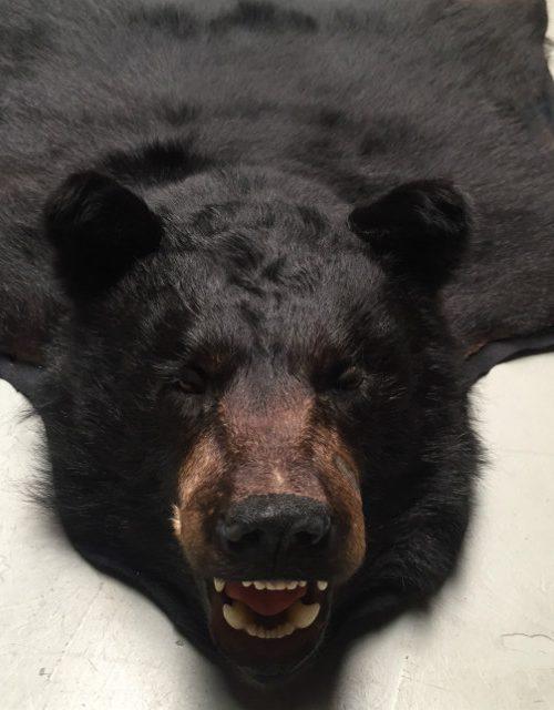 Aktuelle vorbereitet Fell eines schwarzen Bären
