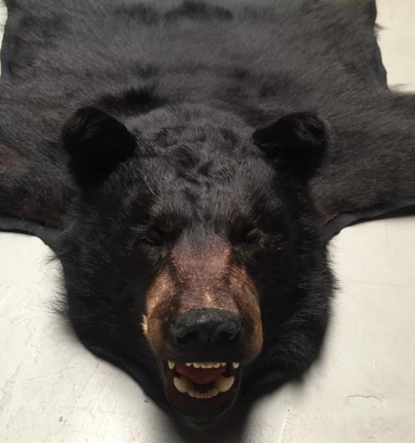 Recent geprepareerde huid van een grote zwarte beer