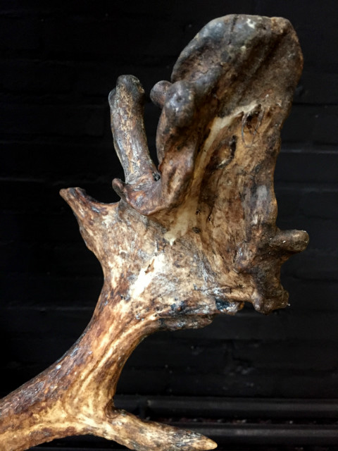 Very special abnorm antlers of a fallow deer