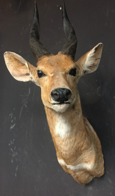 Vintage mounted head of a bushbuck