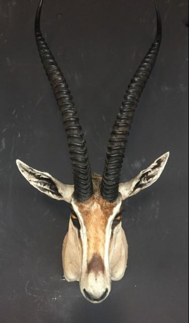 Vintage stuffed head of a grand gazelle