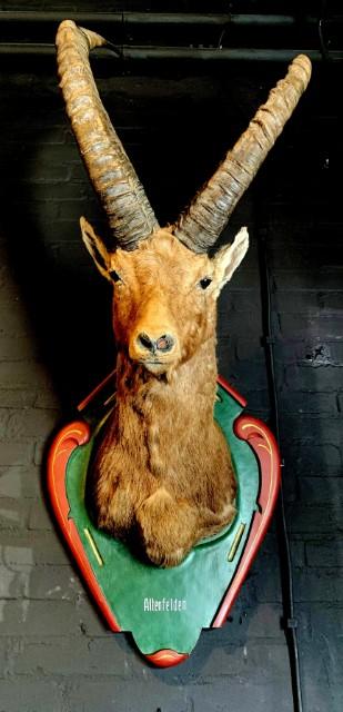 Vintage stuffed head of an alpine ibex.