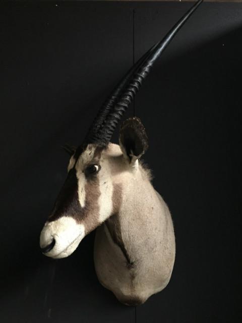 Vintage Trophäe Kopf eines Oryx.