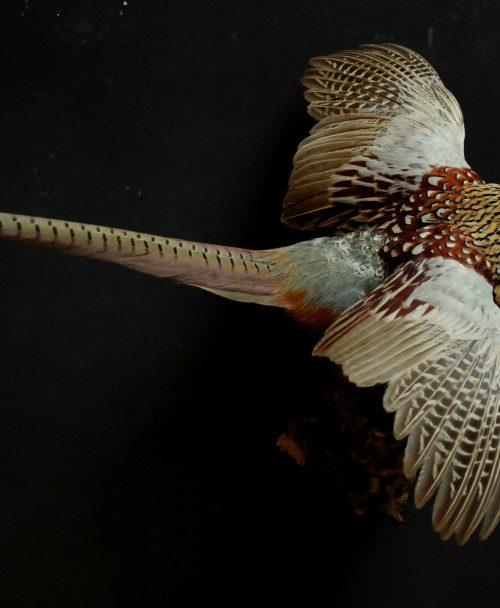 Opgezette vliegende fazantenhaan