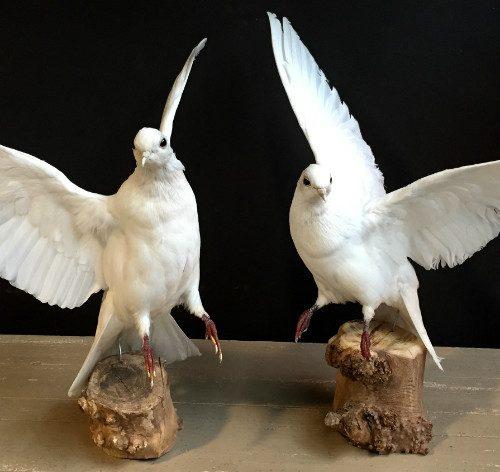 Recent opgezette witte duiven