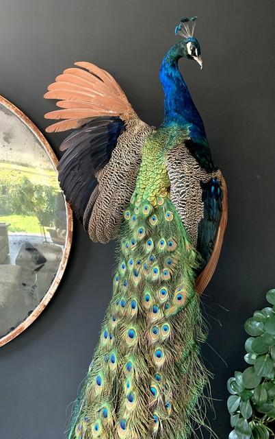 Sierlijk opgezette blauwe pauw