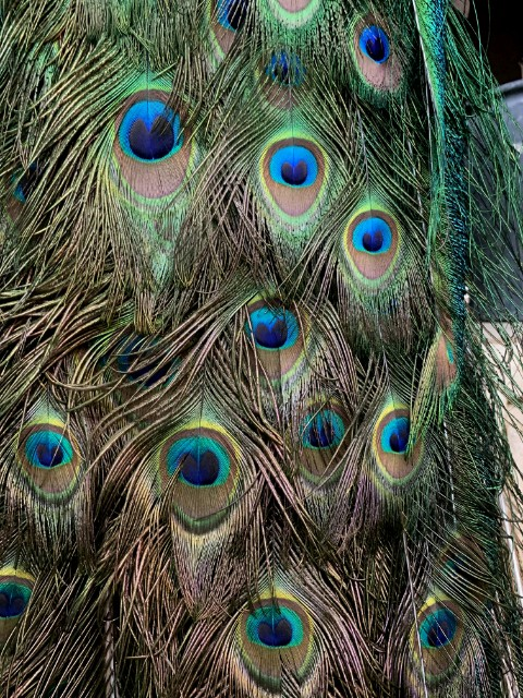 VO 300-C, Large blue peacock on wooden stump.