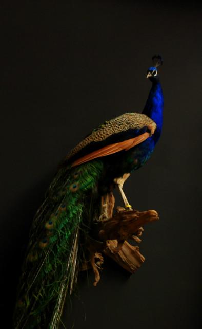 Stylish stuffed peacock.