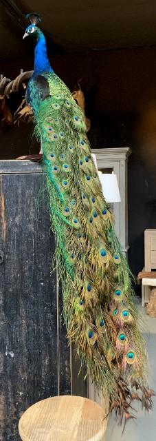 VO 315-B, Taxidermy black wing peacock.