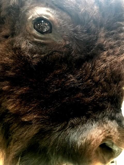Schöne preparierter Bisonkopf