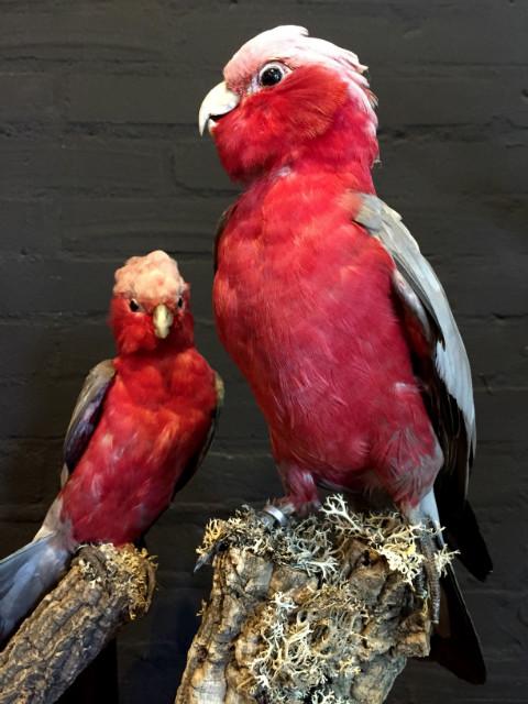 Wonderful stuffed pink cockatoos