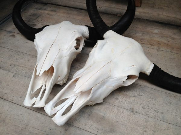Yak skulls