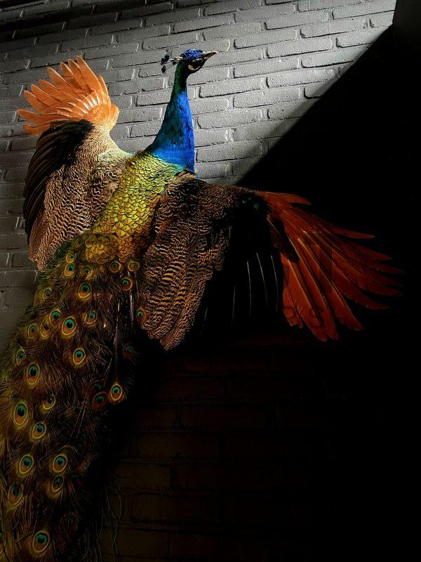 Opgezette pauw in vliegende pose.