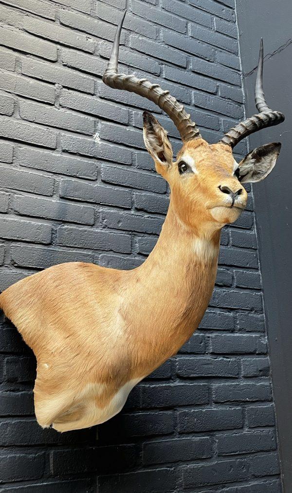 Jachttrofee van een impala