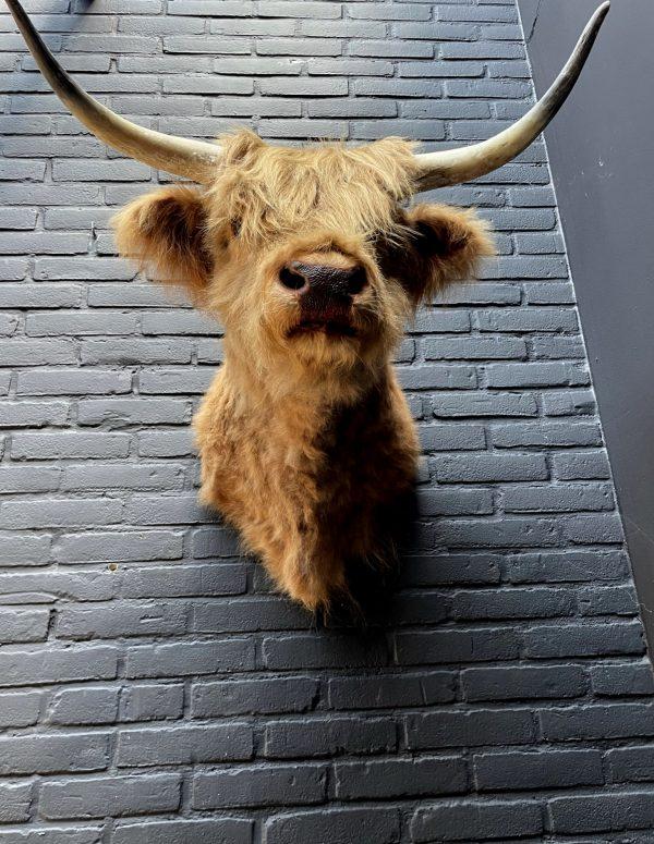 Opgezette kop van een Schotse hooglander