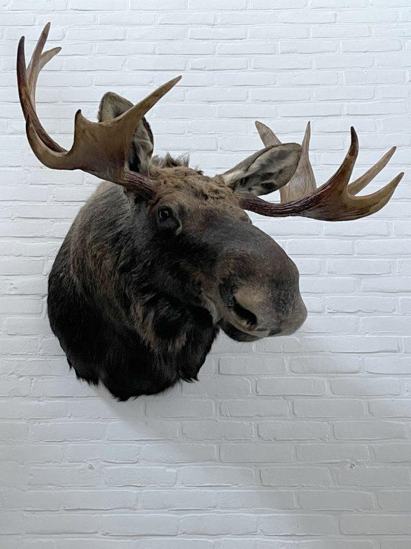 Opgezette kop van een Scandinavische eland