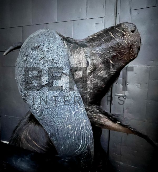 Nieuwe opgezette kop van een kafferbuffel