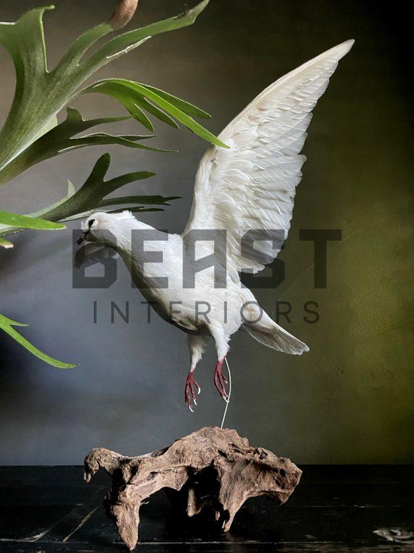 Opgezette witte duif