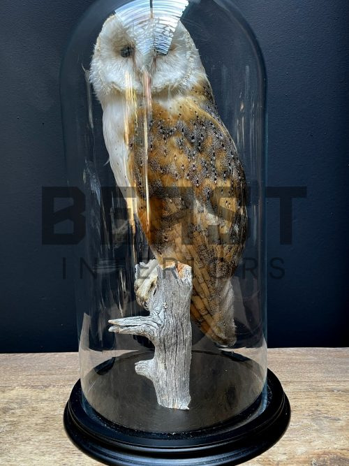 Opgezette kerkuil in glazen stolp