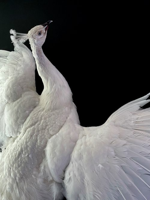 Opgezette witte pauw in vliegende pose