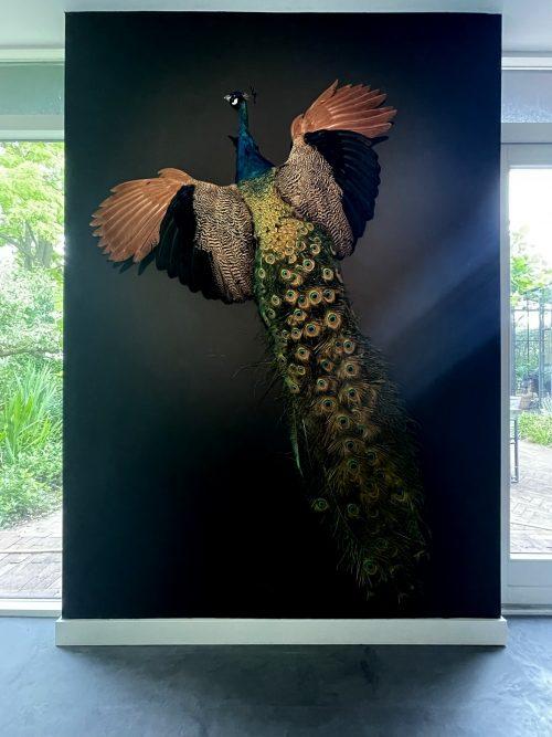 Opgezette pauw in vliegende pose