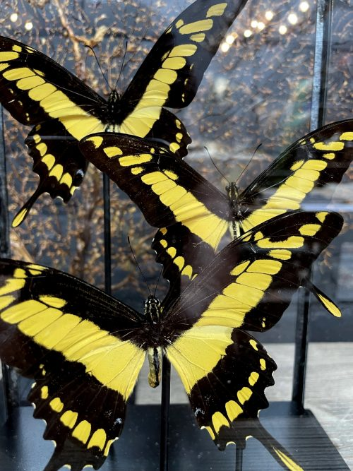 Moderne glazen kast met vlinders