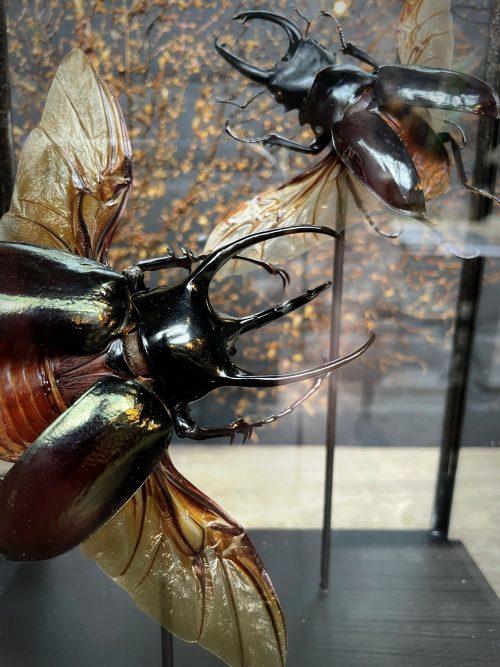 Moderne glazen kast met grote neushoorn kevers