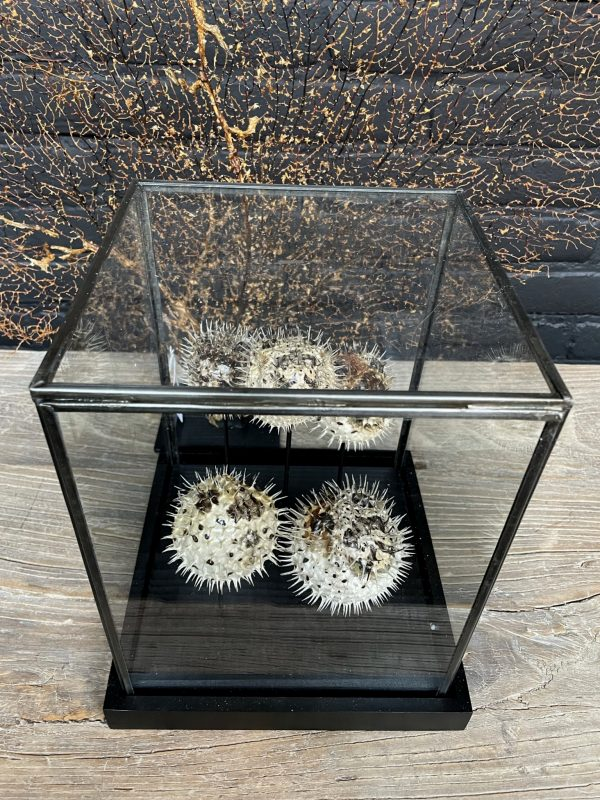 Moderne glazen kast met 5 kogelvissen