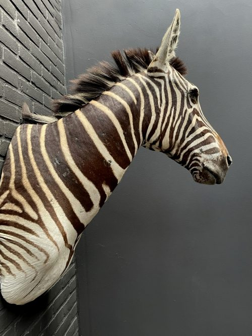 Opgezette zebrakop