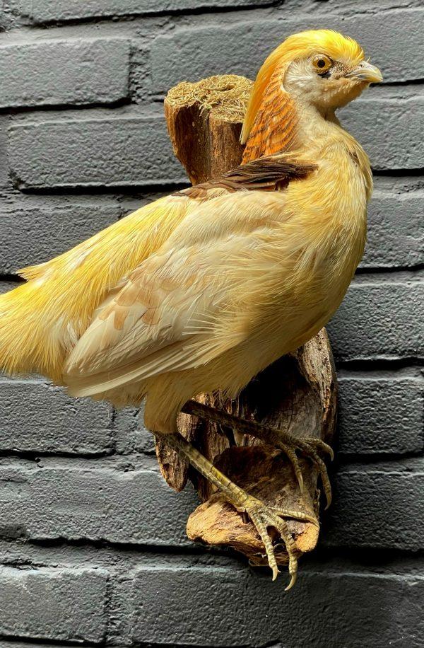 Opgezette gele goudfazant