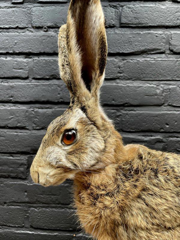 Taxidermy hare