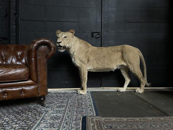Recent opgezette leeuw (leeuwin)