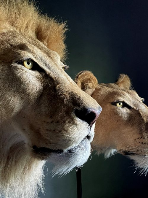Opgezette leeuw en leeuwin (koppen)