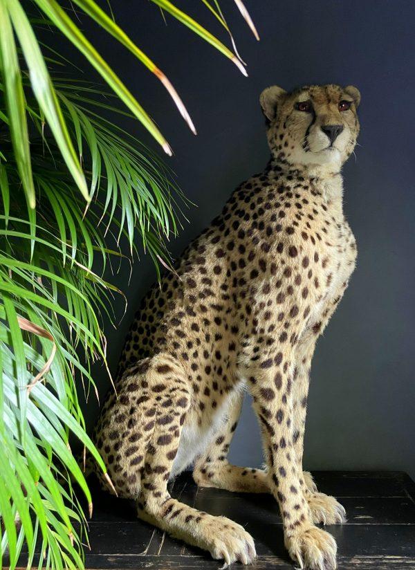 Recent opgezette Cheetah
