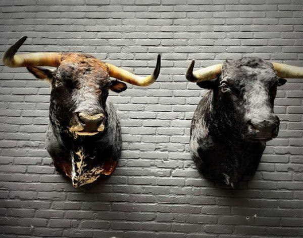 Opgezette kop van een Spaanse stier
