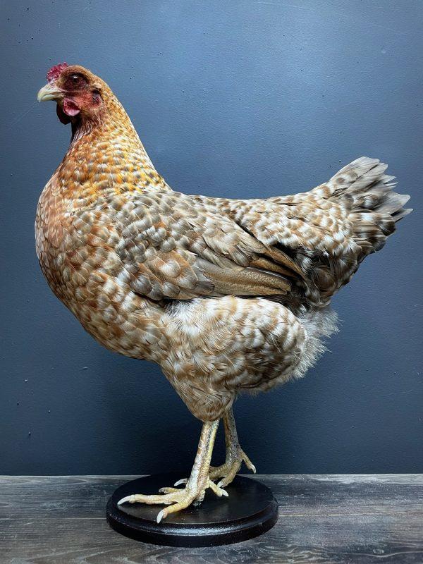 Opgezette grote Bielevelder kip
