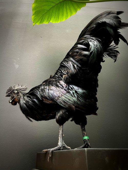 Opgezette haan (Ayam Cemani)