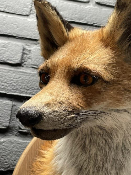 Opgezet kopje van een vos, vossenkop