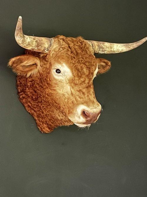 Opgezette kop van een Blonde Limousin stier
